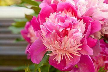 Roze pioenroos von Sanne van der Valk