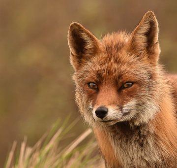 Close-up van een vosje in de duinen van Marjolein van Middelkoop