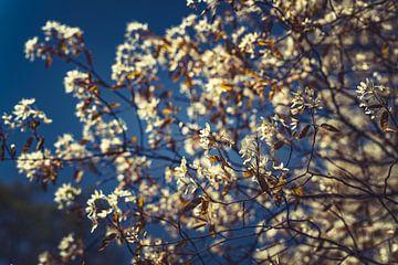 Bloesems wit 09 van FotoDennis.com