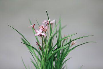 Rosa Blume von Carla Van Iersel