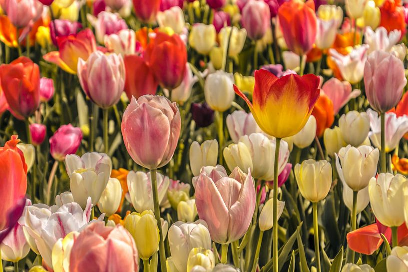 Kleurrijk veld met tulpen van Koop je Canvas