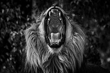 Afrikanischer Löwe mit offenem Maul, mit Hintergrund von Daphne van Dam