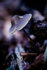 Kwestbare paddenstoel van