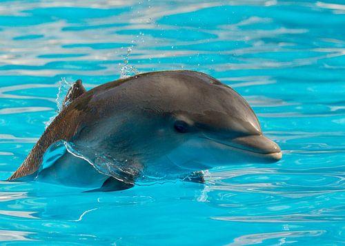 Delfin Ilse van