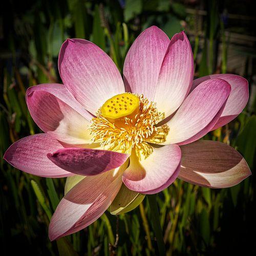Pink Lotusflower