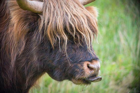 Schotse Hooglander steekt tong uit