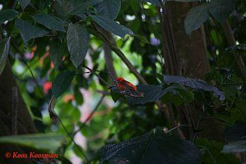Klein Vogeltje In Het Rood van Koos Koosman