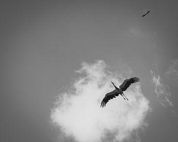 Ooievaars in lucht - Dierfotografie - Wallonië - België