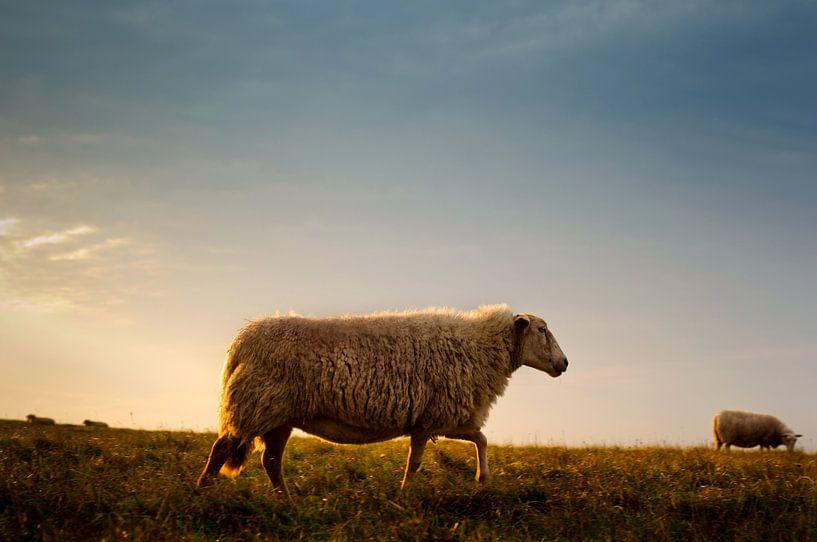 Sheep on the Dutch Lowlands sur Erwin Plug