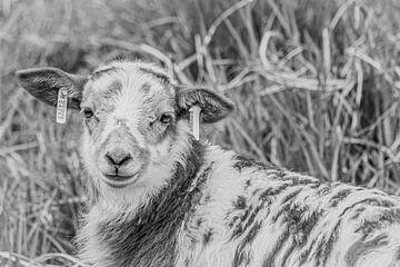 Fell Lamm, Schwarz und Weiß von Rosina Vermaas