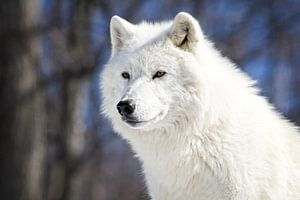 Loup Blanc Arctique von Renald Bourque