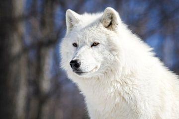 Loup Blanc Arctique van Renald Bourque
