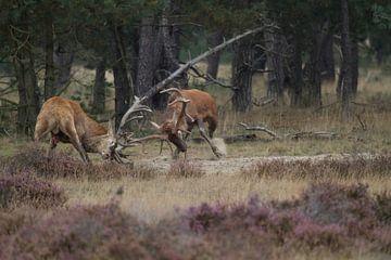 Brunftkampf zwischen zwei großen Rotwild Hirsche von rene marcel originals