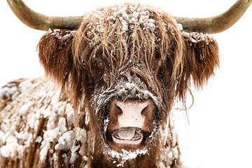 Schottische Highlander-Kuh im Schnee von Sjoerd van der Wal