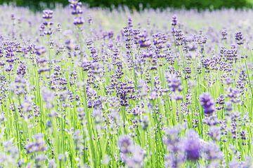 Sommer Lavendel