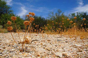 Fleurs du désert sur Marlies van den Hurk Bakker
