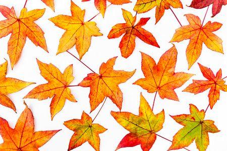 Bladeren van esdoorn in herfstkleuren