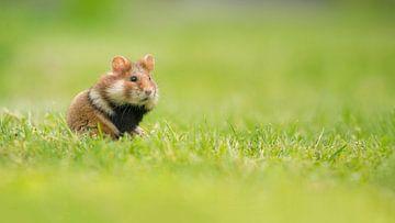 Hamster in het gras van Elles Rijsdijk