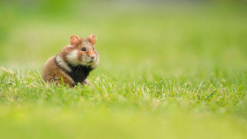 Hamster im Gras von Elles Rijsdijk
