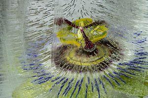 Passiflora caerulea  of passiebloem gevangen in ijs