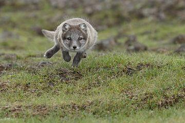 Een jonge poolvos rennend  van
