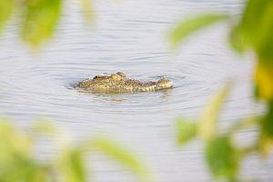 Krokodil - Tanzania