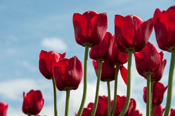 rode tulpen  van Compuinfoto .