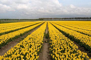 veld met gele tulpen van Compuinfoto .