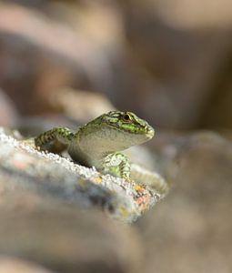 Salamander van