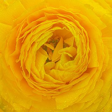 Gele ranonkel van Willy Sengers