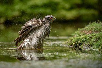 Havik in het water