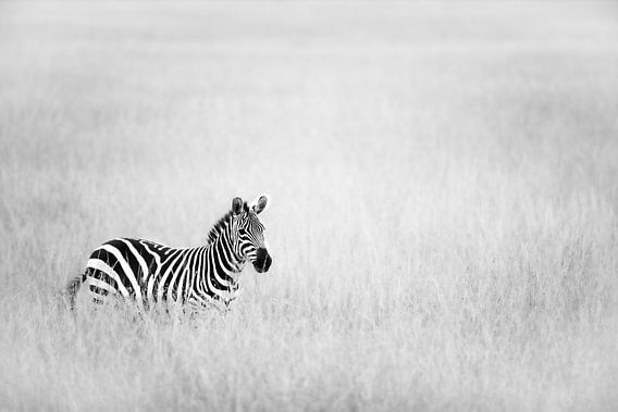Zebra in het veld