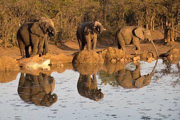 Trinkende Elefanten, kruger park südafrika von Marijke Arends-Meiring