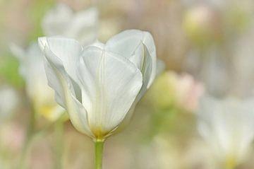 Tulpe sur Violetta Honkisz