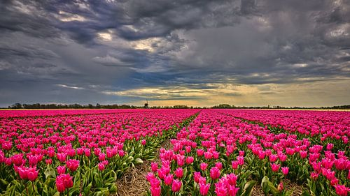 wolkendek met onweer boven een bloemenveld met tulpen
