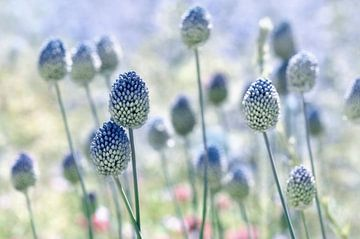 Allium van