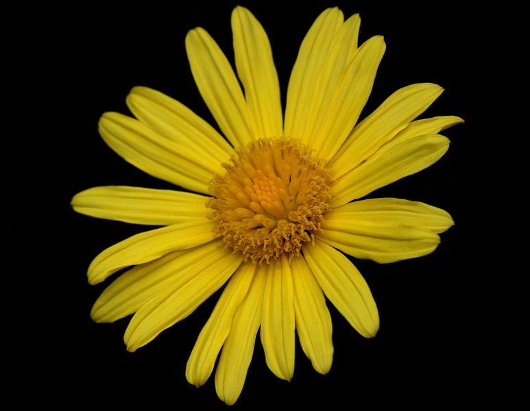 Gele bloem met zwarte achtergrond