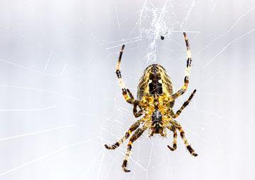 Macro shot d'une araignée de jardin, attendant dans le Web pour sa proie. sur Devin Meijer