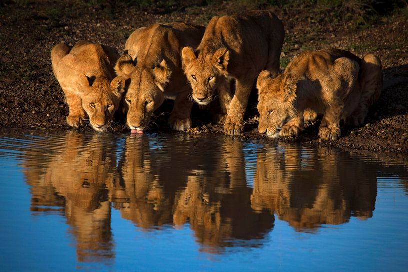 Leeuwen van Mara, Mario Moreno van 1x