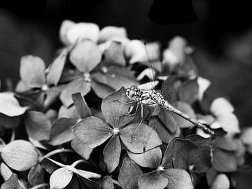 Libelle auf Hortensien von Martijn Wit