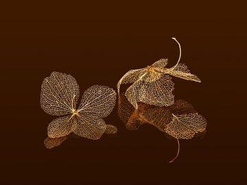 Tote Blüten einer Hortensie von Kok and Kok