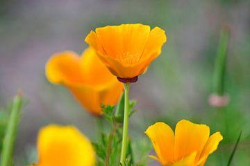 """""""Schlafmütze"""" eine Wildblume, was für einen schönen Namen Sie haben. von J..M de Jong-Jansen"""