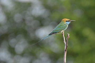 Groen vogeltje in wildpark Sri Lanka van Ingrid Bargeman