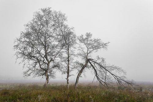 Berkebomen in de mist