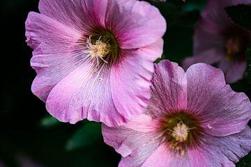 rosa Stockrose von Tania Perneel
