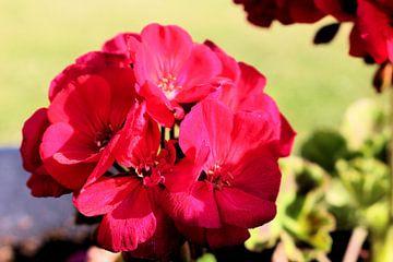 Mooie rode hortensia van Michiel piet