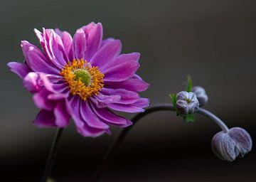 aster d'automne rose sur Tania Perneel