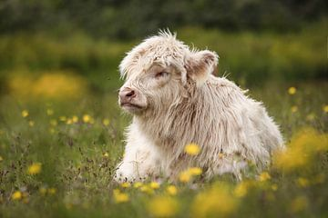 Jonge, witte Schotse hooglander in Lentevreugd van Isabel van Veen