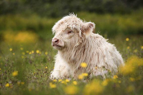 Jonge, witte Schotse hooglander in Lentevreugd