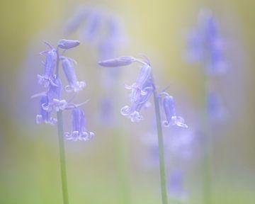 Wilde hyacinten van